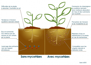 differences-mycorhize-pasmycorhize
